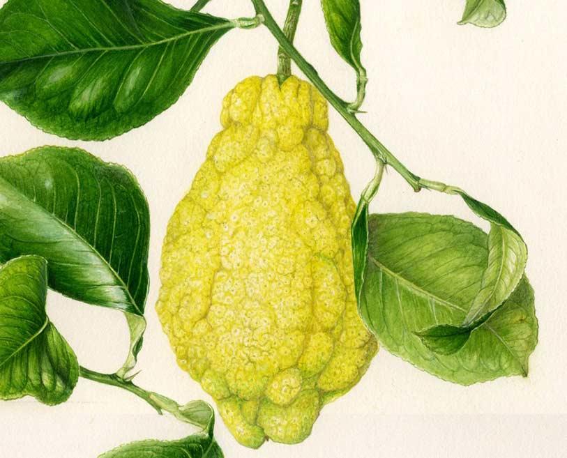 citrus-l.-Caietanus