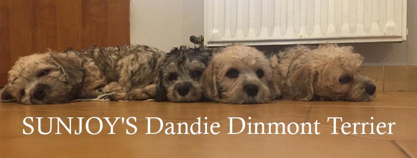 Dandie Dinmont Terrier Sunjoy